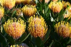 Banksia Stockfoto