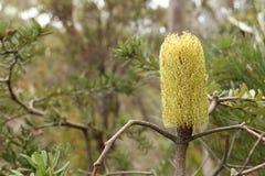 Banksia australiano (TAS) Fotografía de archivo libre de regalías