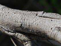 Banksia Bark Royalty Free Stock Photo