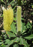 Banksia Stock Photo