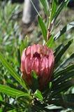 Banksia in bloem Royalty-vrije Stock Foto's