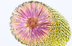 Banksia bloom closeup Royalty Free Stock Images