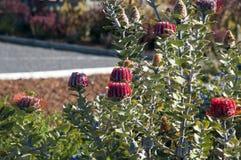Banksia coccinea krzak w kwiacie zdjęcia royalty free