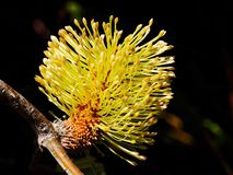 Banksia cone flower Stock Image