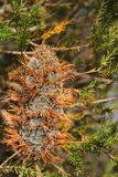 Banksia Cone Royalty Free Stock Photography