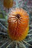 Banksia de Ashby Imagenes de archivo
