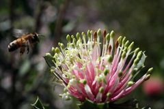 Banksia del Matchstick más abeja Foto de archivo libre de regalías