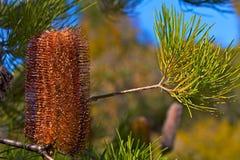 Banksia Or-et-rouge australien de lanterne de types Image libre de droits