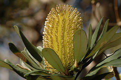 Banksia Flower Stock Photo