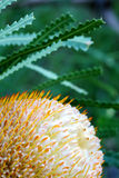 Banksia Flower. A close up shot of an Australian Banksia Flower Stock Photography