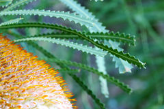 Banksia Flower. A close up shot of an Australian Banksia Flower Stock Photos