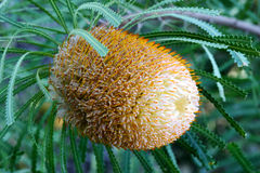 Banksia Flower Stock Photography
