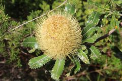 Banksia Flower Stock Image