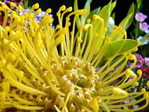Banksia Flower Royalty Free Stock Photo