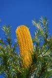 Banksia Flower Golden Stock Photo
