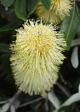 Banksia  flower Royalty Free Stock Photography