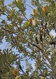 Banksia krzak Obrazy Royalty Free