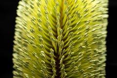 Banksia kwiatu Makro- Czarny tło Zdjęcie Royalty Free
