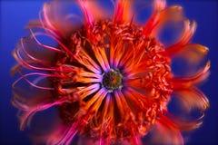 Banksia på blått Royaltyfri Foto