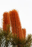 Banksia Plant Royalty Free Stock Image
