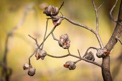 Banksia quemado Fotografía de archivo libre de regalías