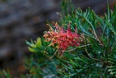 Banksia rojo floreciente fotos de archivo libres de regalías