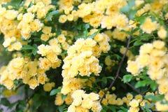 Banksia rose Royalty Free Stock Photo