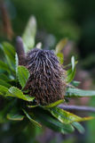 Banksia serrata Royalty Free Stock Photo