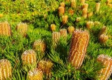 Banksia Spinulosa 2 Royalty-vrije Stock Afbeelding