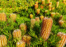 Banksia Spinulosa flower 2. Flower called Banksia Spinulosa or  Birthday candles,  Australian native plant Royalty Free Stock Image