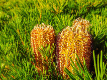 Banksia Spinulosa flower 3. Flower called Banksia Spinulosa or  Birthday candles,  Australian native plant Stock Photo