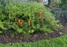 Banksia spinulosa gedrungenes Gold Lizenzfreie Stockbilder