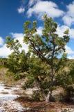 Banksiabaum auf Fraser Island Stockfotografie