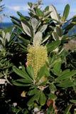 Banksiabloem Stock Foto