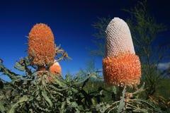 Banksiablomma, vildblomma, västra Australien Arkivfoton
