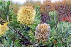 Banksiablommor Royaltyfri Fotografi