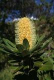 Banksiablume Lizenzfreie Stockfotos