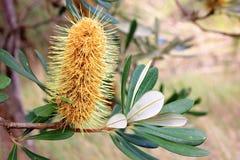 Banksiablume Lizenzfreies Stockbild