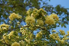Banksiae rose flowers. Soft yellow Stock Photos