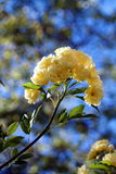 Banksiae roses on blue sky. Group of little roses Royalty Free Stock Photo