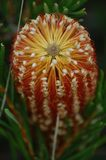 Banksiaericofolia Arkivbild