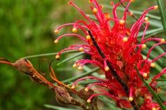 Banksii de Grevillea, fleur de kahili dans le jardin Image libre de droits