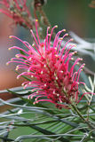 Banksii Grevillea Стоковое фото RF