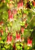 Banksja kwiat Fotografia Royalty Free