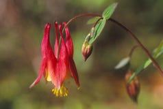 Banksja kwiat kwitnie w świetle słonecznym zdjęcia royalty free
