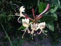 Banksja, Lonicera Caprifoliaceae zdjęcia stock