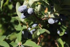 Banksja z jagodami w lato ogródzie 31067 Zdjęcie Royalty Free