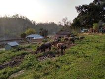 Bankul, tripurar, la India, cultivo hermoso del búfalo fotos de archivo