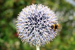 Bannaticus del Echinops con un abejorro Foto de archivo libre de regalías