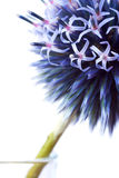 Bannaticus Echinops Стоковое Изображение